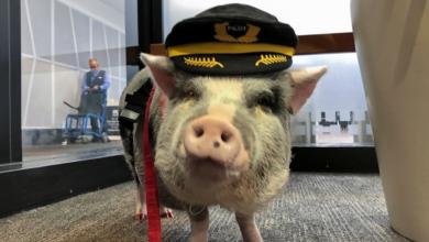 Seekor Babi Lucu Jadi Petugas Bandara San Francisco. Sumber: Reuters